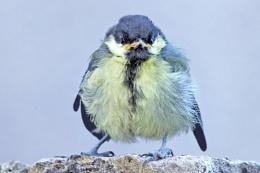 Grumpy  - Fledgling Great Tit