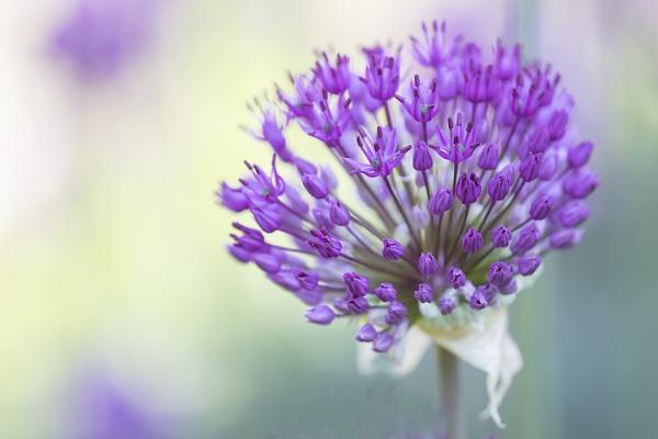 Purple Sensation by janedibnah