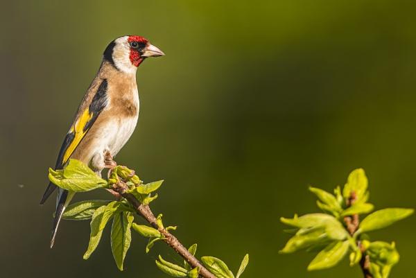 Goldfinch by robert61