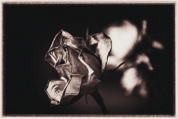 dead rose by bornstupix2