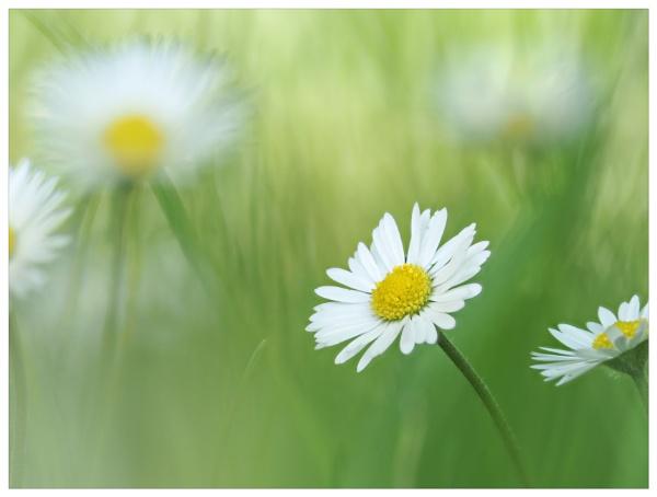 Daisy by suemart