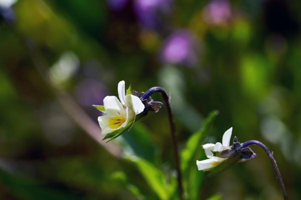 Field pansy flowers. by LotaLota