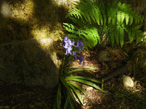 Bluebells in a sunbeam by Alan26