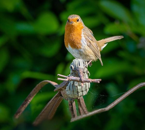 Robin on a robin by lagomorphhunter