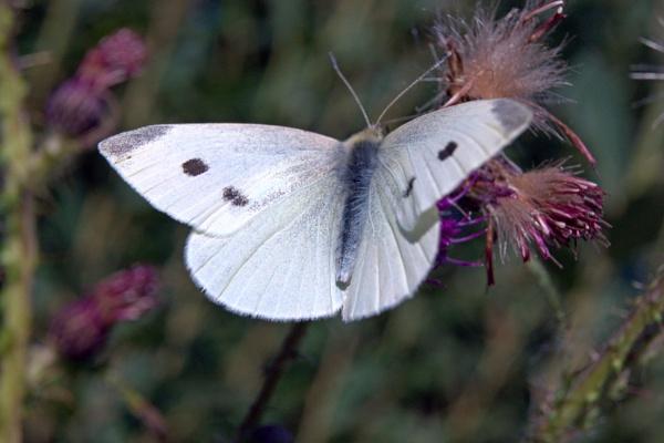 butterfly by Bert47
