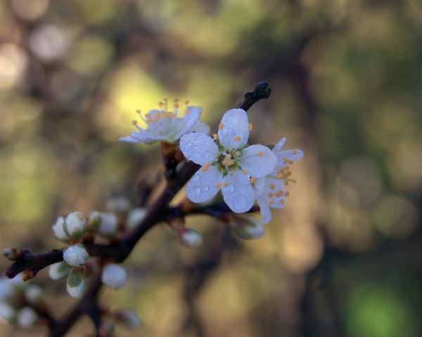 blossom by Bert47