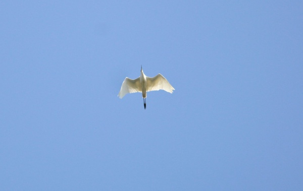 An egret in flight by billd1000