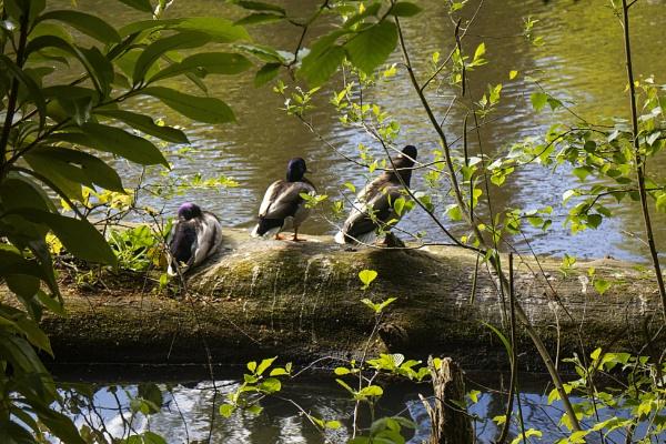 3 Mallards on log by frenchie44