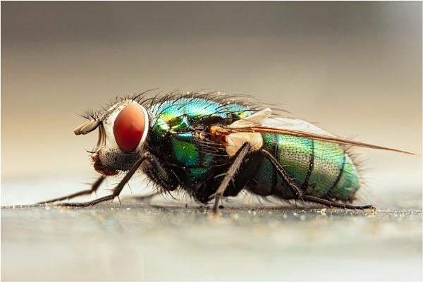 20/52 Common Green Bottle Blowfly by sherlob