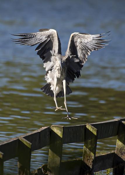 Touchdown Heron by chensuriashi