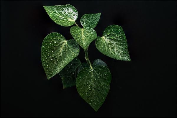 Ivy by RDD