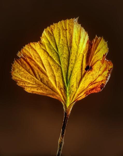 Golden Leaf by Phillbri
