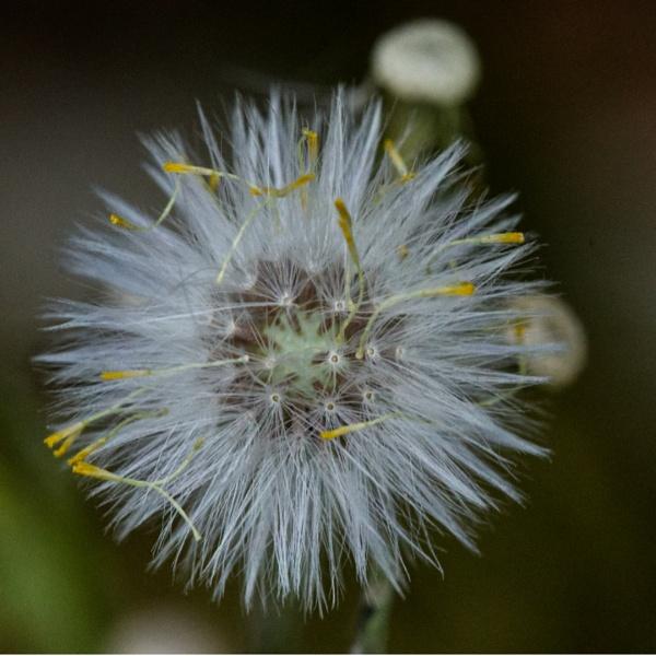 seed head by elmer1