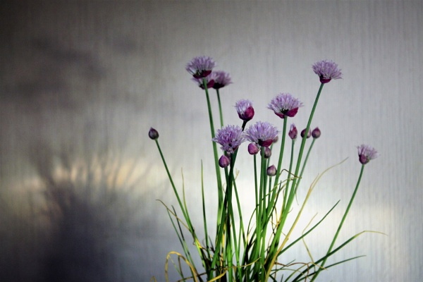 The clump in a pot on the table by helenlinda