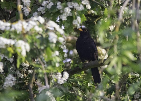 blackbird in the blossom by stevegilman