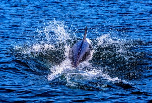 Dolphin by KazG