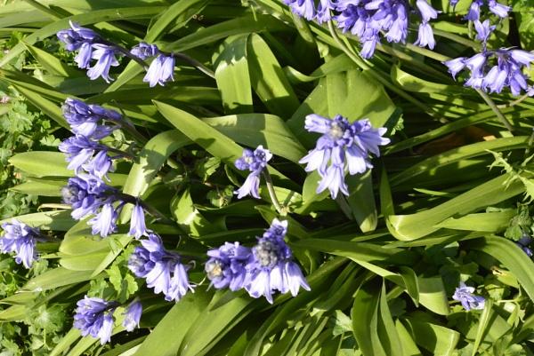 Bluebells by peterthowe