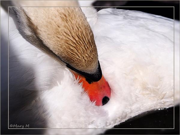 Swan Series 1 by marshfam19