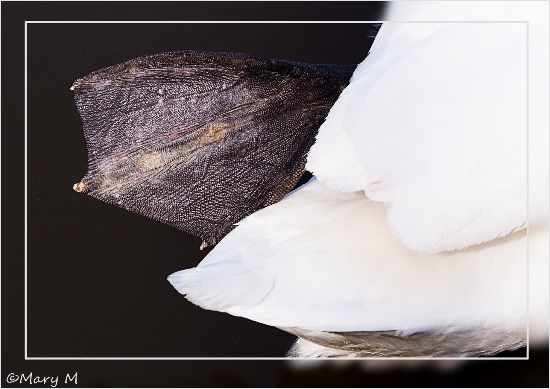 Swan Series 2