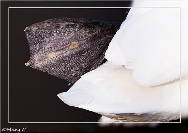 Swan Series 2 by marshfam19