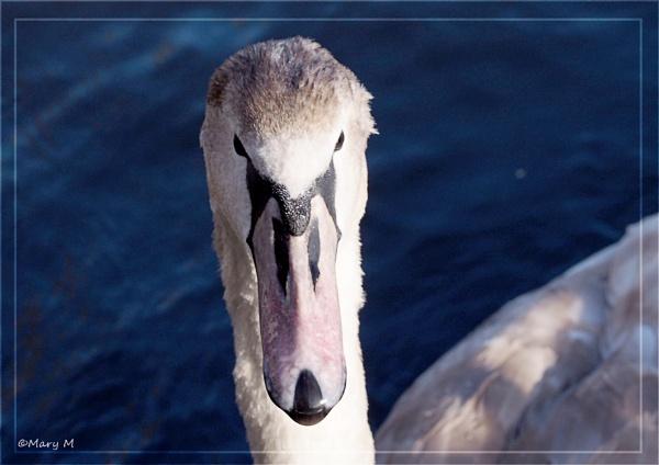 Swan Series 3 by marshfam19