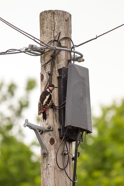 Great Spotted Woodpecker - Network Hacker by JackAllTog