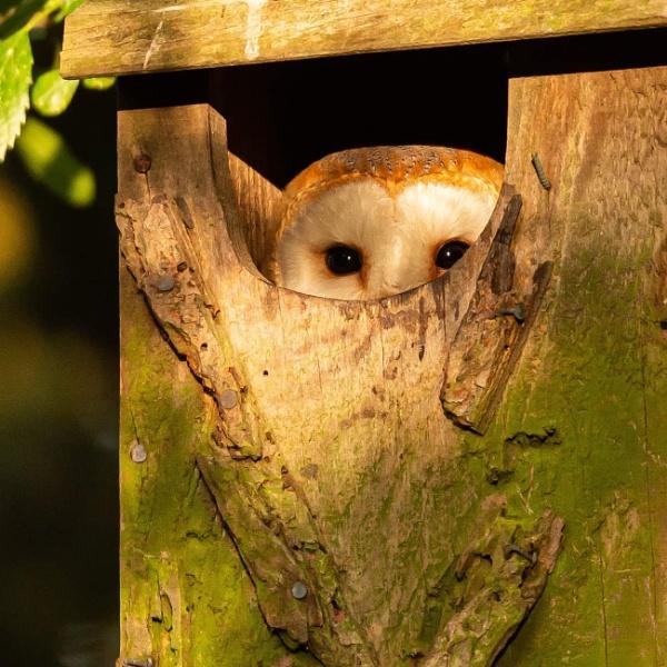 Barn Owl. by neil75
