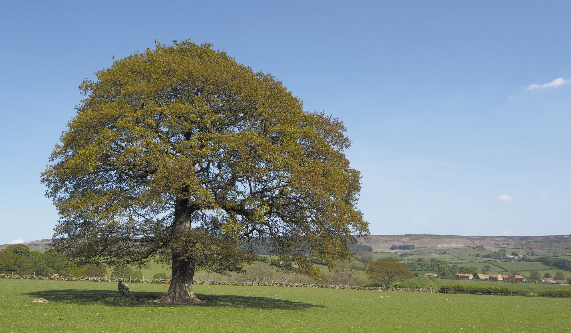 Lone tree Raisdale