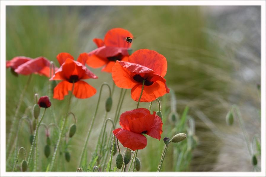 poppies about again.
