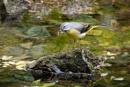 Grey Wagtail by jasonrwl