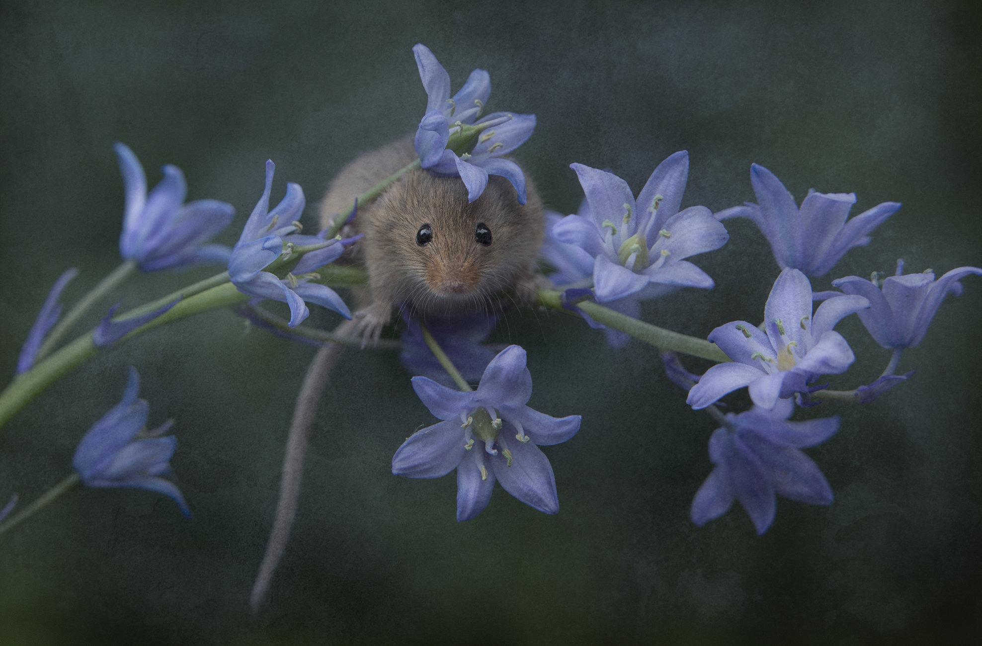 Harvest Mouse - Art?