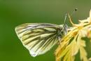Green-Veined White by geffers7