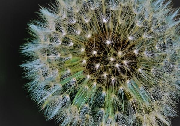 Dandelion seed head - not so ugly by Berniea