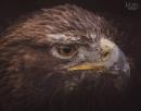 Golden Eagle by MartinWait