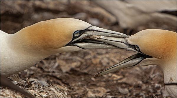 Gannets squabbling by hibbz