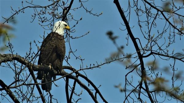 Eagle by djh698