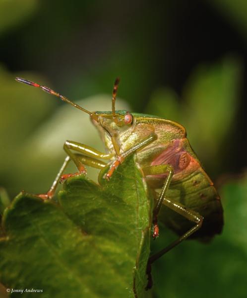 Green shieldbug by JonnyNI