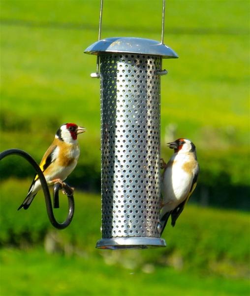 Goldfinches by ddolfelin