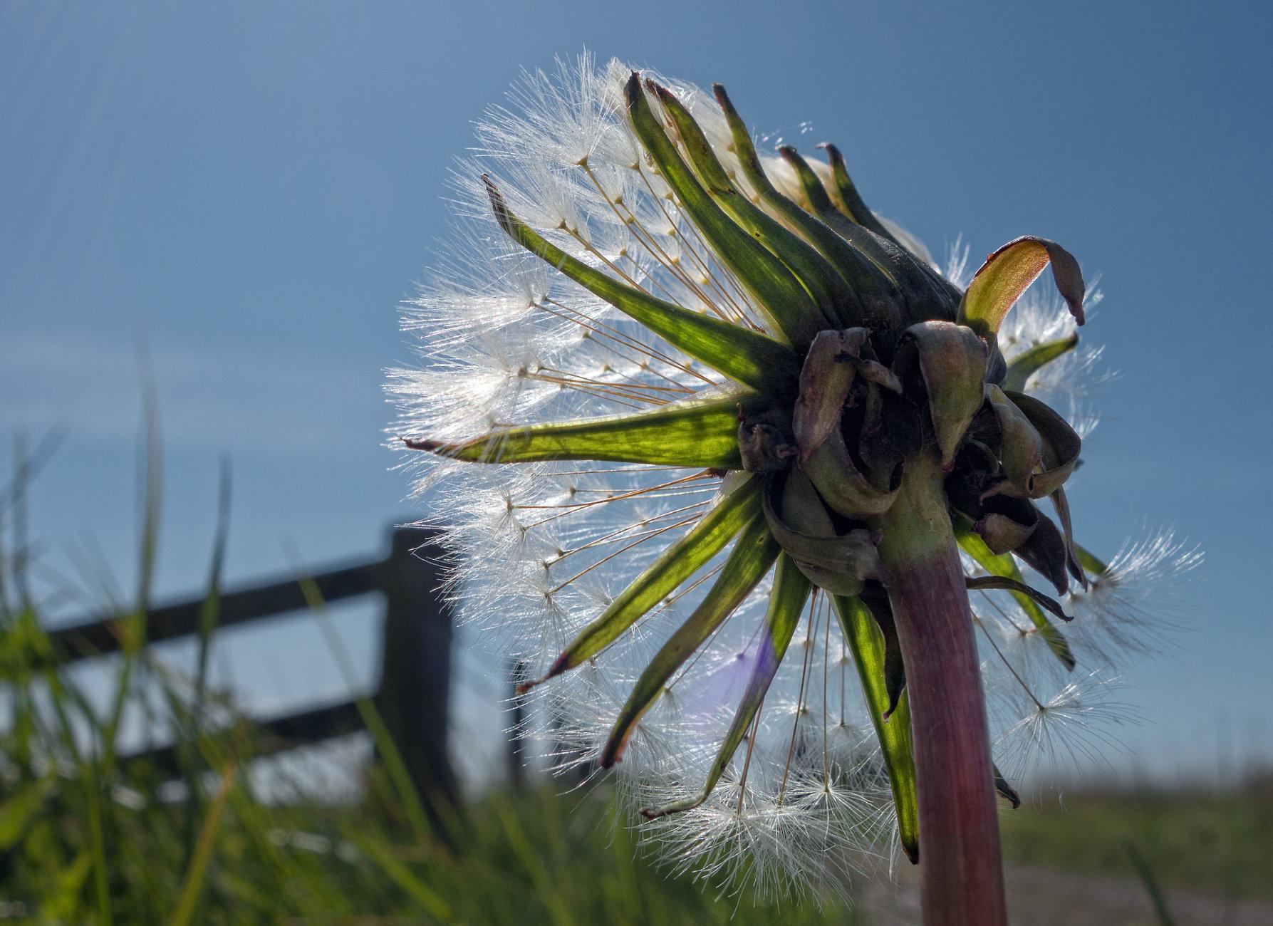 Meadow Dandelion