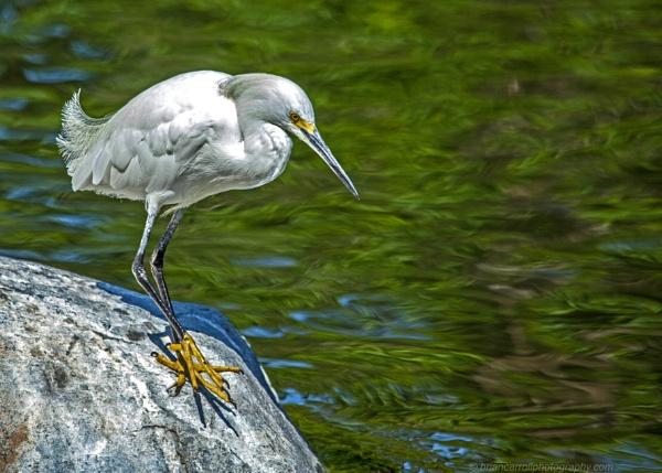 Little Egret  (Egretta garzetta) by brian17302