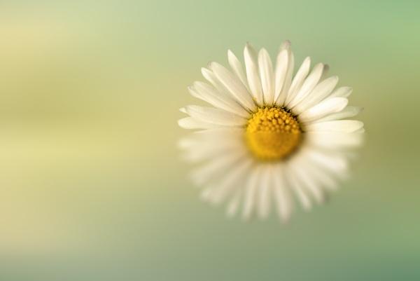 Daisy by flowerpower59