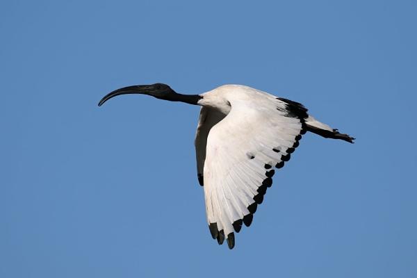 Sacred Ibis by Steveo28