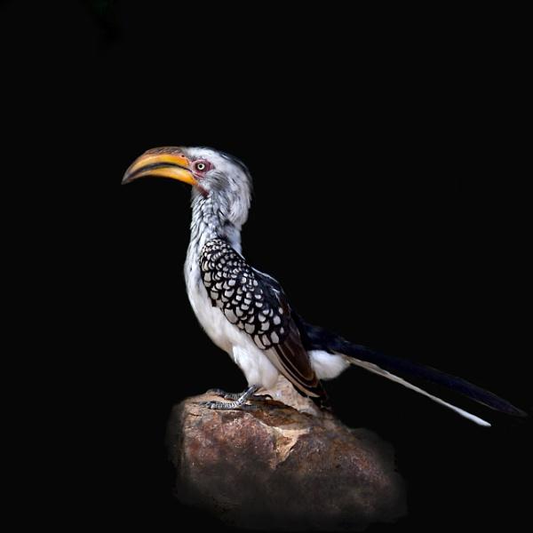 African Hornbill. by Coen