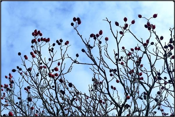 bare winter berries by FabioKeiner