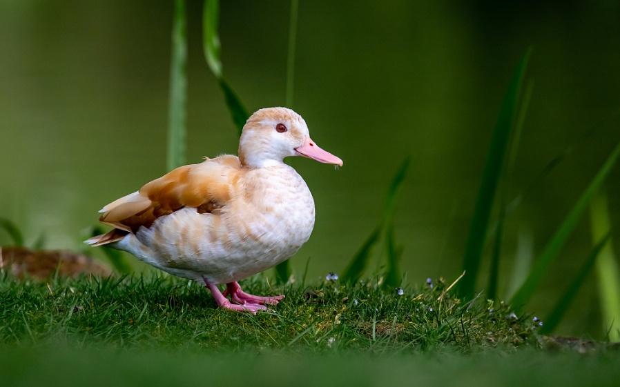 Unknown Duck