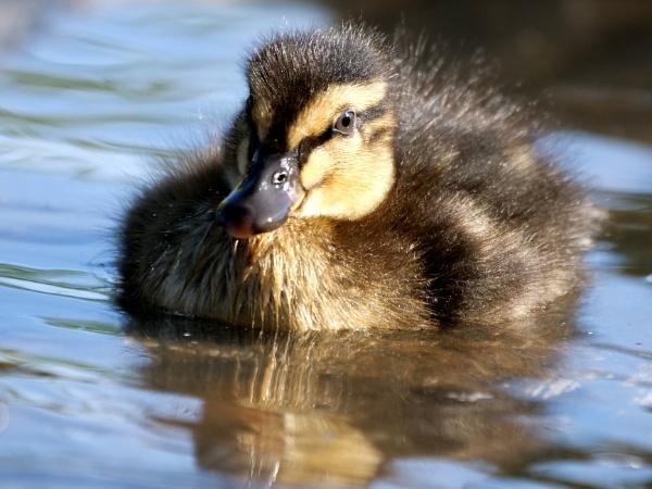 Duckling by DerekHollis