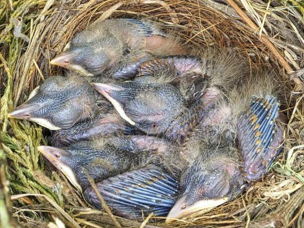 Blackbird Nestlings by DaveRyder