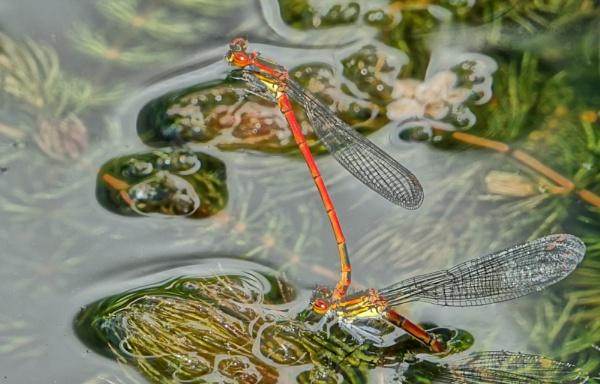 Damselfly by frogs123