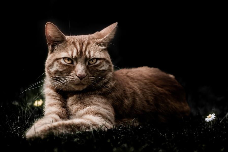 Ginger-Cat Moody