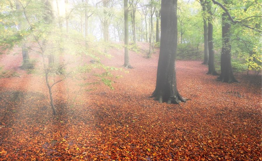 """Autumn Beech Leaves""."